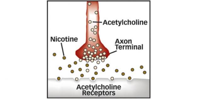 ацетилхолиновыми рецепторами
