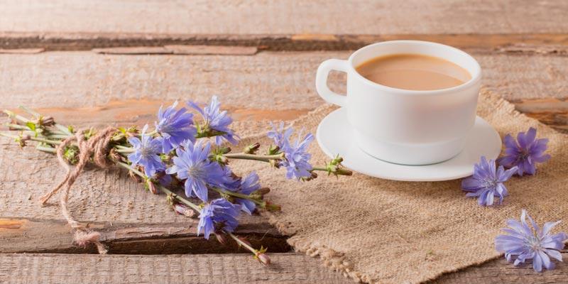 Цикорий растворимый: польза и вред для здоровья